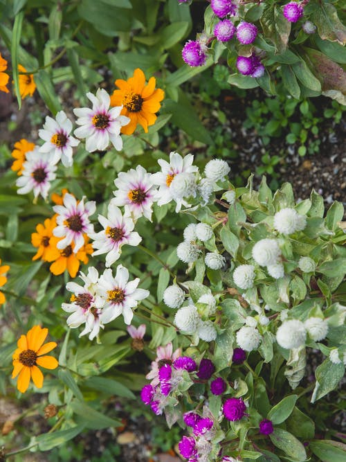 Gomphrena flowers and zinnias growing in garden