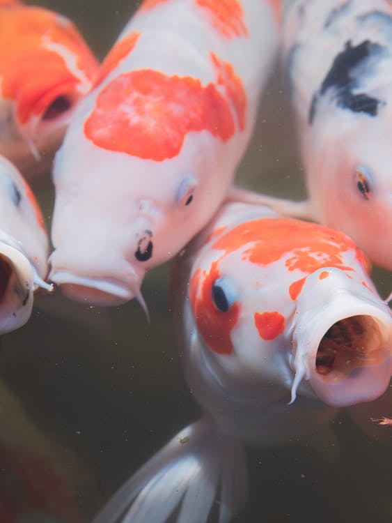 Japanese carp with red and orange spots and mouth opened swimming in water of pond