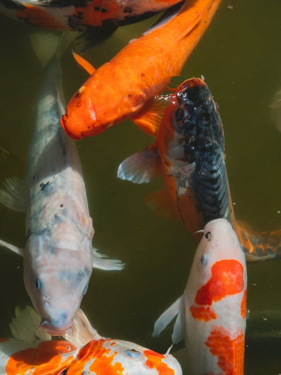 Top view of Bright Koi fish with orange spots swimming in muddy water of pond