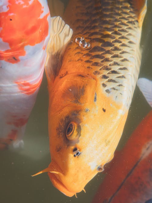 Japanese carp with textured fish scale