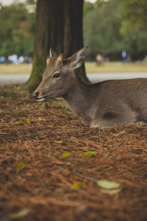 Little roe deer resting on grass in conservation park