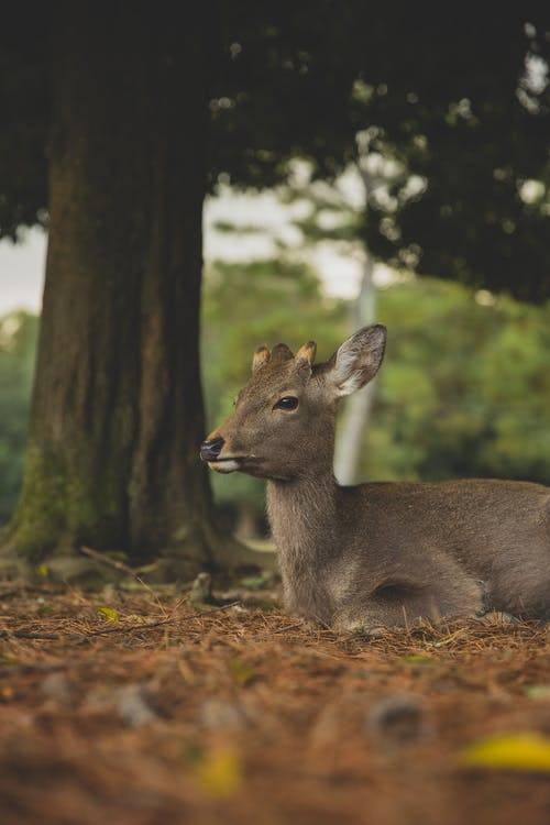 Adorable young roe deer lying on grass near lush tree in natural habitat on summer day