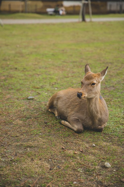 Adorable roe deer lying on grass in sanctuary