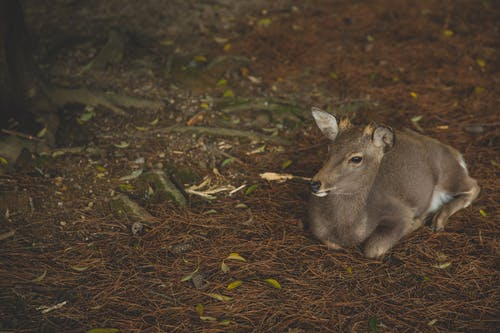 Full length cute young roe deer resting on dry grass in wild nature and looking away attentively