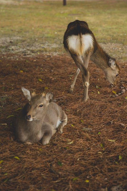 Funny roe deer pasturing together on grassy lawn