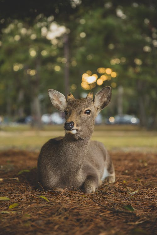Adorable fluffy sika deer sitting on ground in park with blurred foliage on trees
