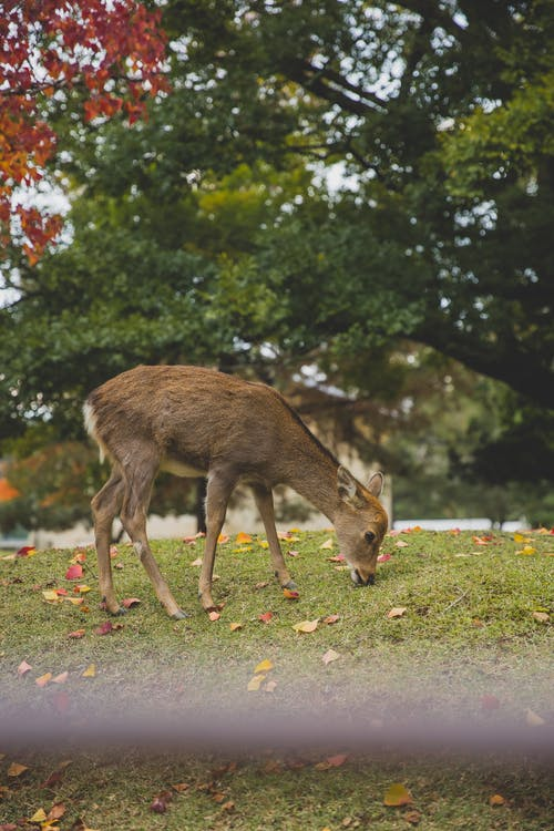 Deer pasturing in autumn park with fallen leaves