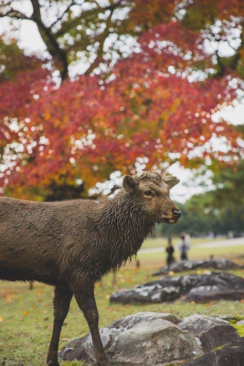 Wet sika deer standing against autumn trees