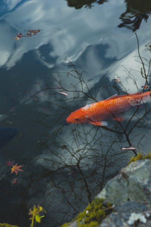 Orange fish in water of pond