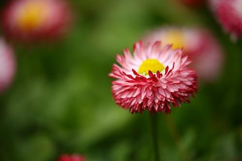 Immagine gratuita di bellissimo, bocciolo, centaurea, colore