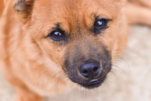 From above of cute small dog with brown fur and black nose looking at camera while lying on street on blurred background