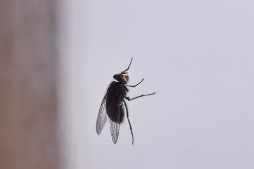 Small wild black fly with fragile transparent wings and hair sitting on glass window in light room on blurred background