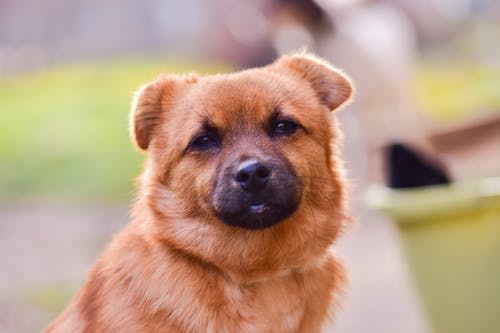Cute little domestic sheep dog with fluffy brown fur and black nose sitting on street on blurred background in city
