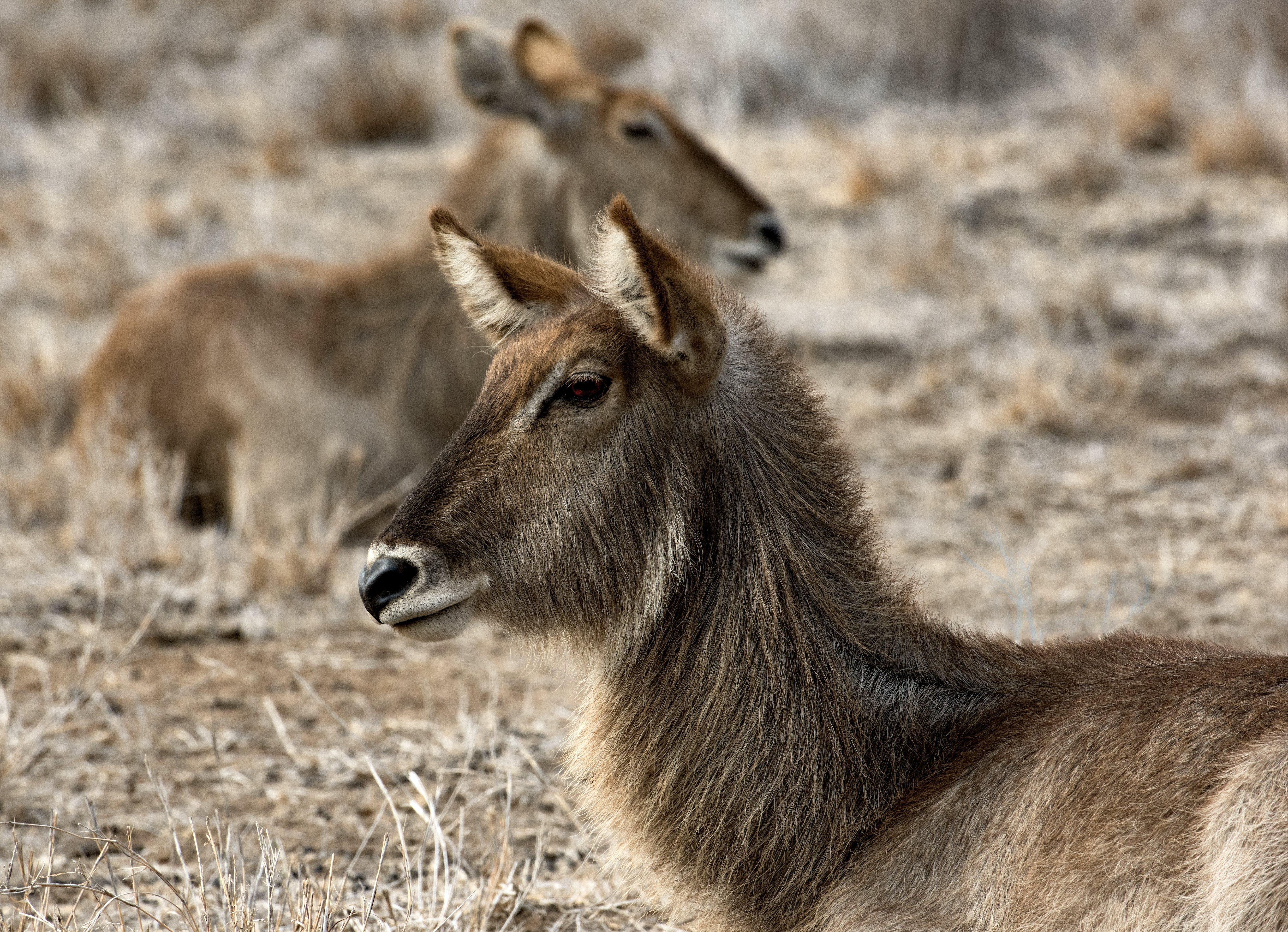 africa, animals, antelope