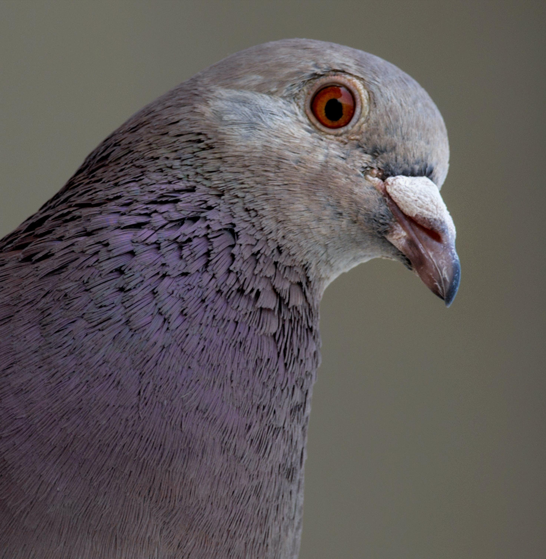 Purple and Gray Pigeon