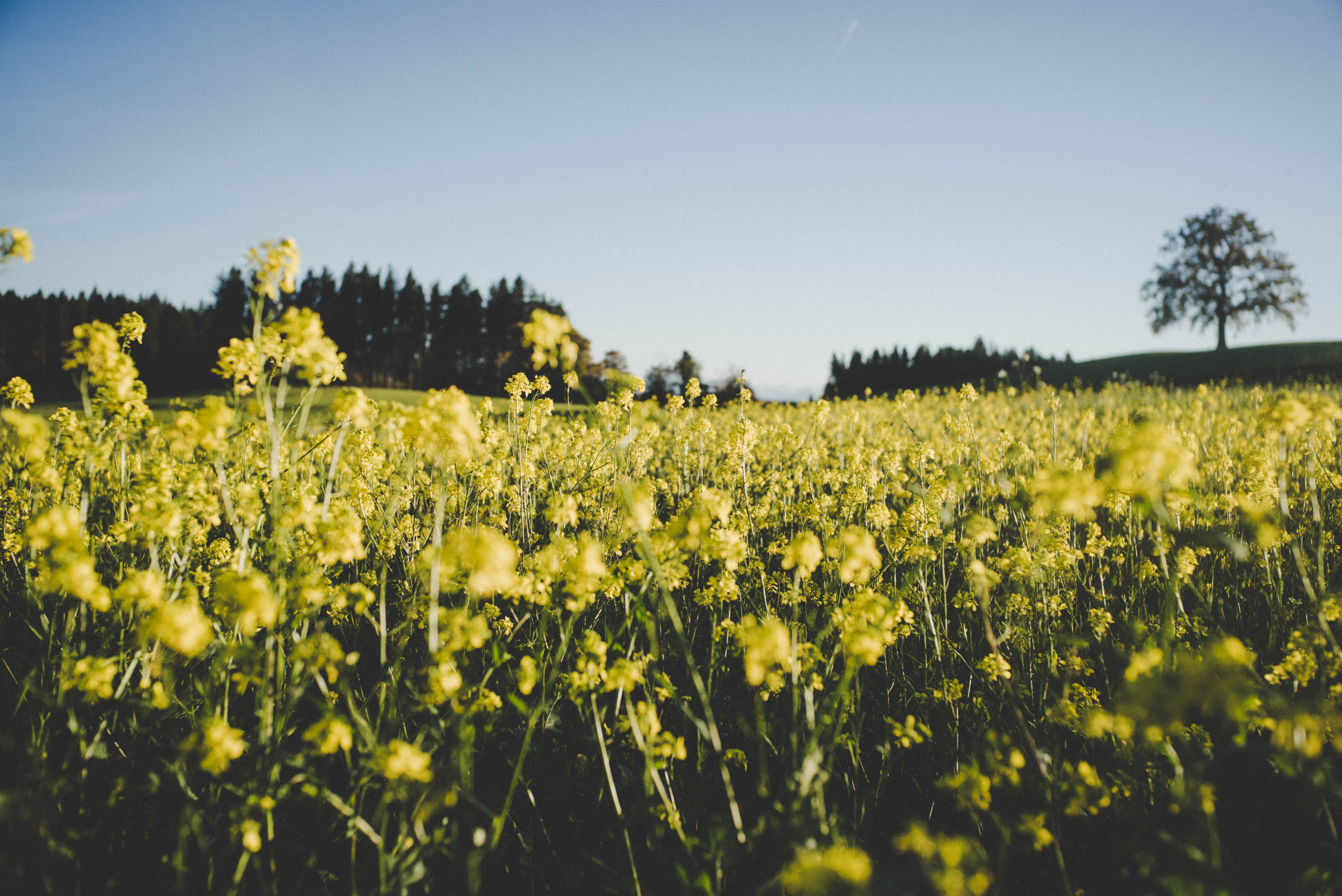 Bed of Yellow Petaled Flower