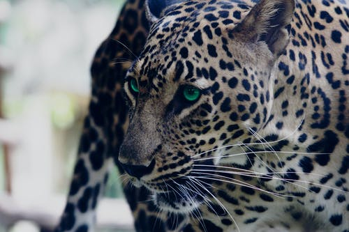 Shallow Focus Photo of Leopard