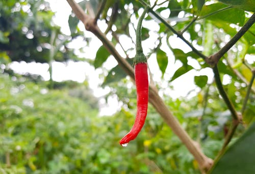 Free stock photo of chili, red