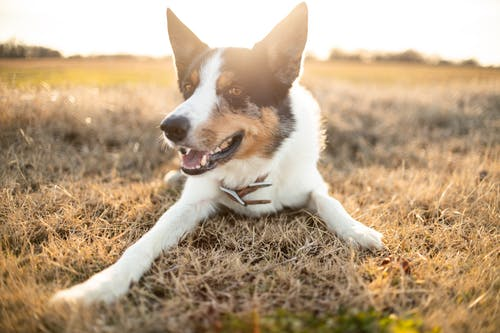 Close-Up Shot of a Border Collie Lying on a Grassy Field