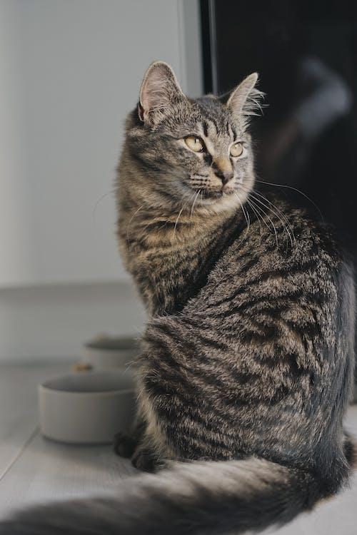 インドア, かわいらしい, ネコの無料の写真素材
