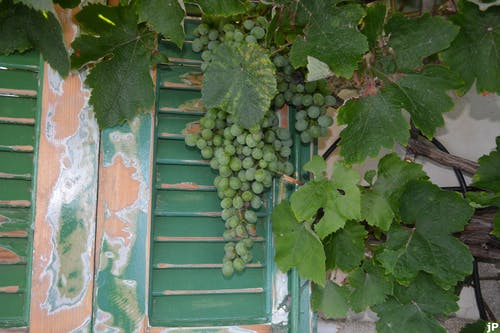 Free stock photo of wine grapes