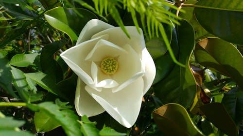 Fotobanka sbezplatnými fotkami na tému magnólie strom kvetina