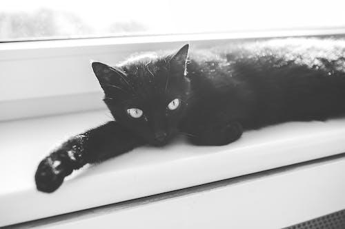 Fotos de stock gratuitas de animal, blanco y negro, gato, mascota