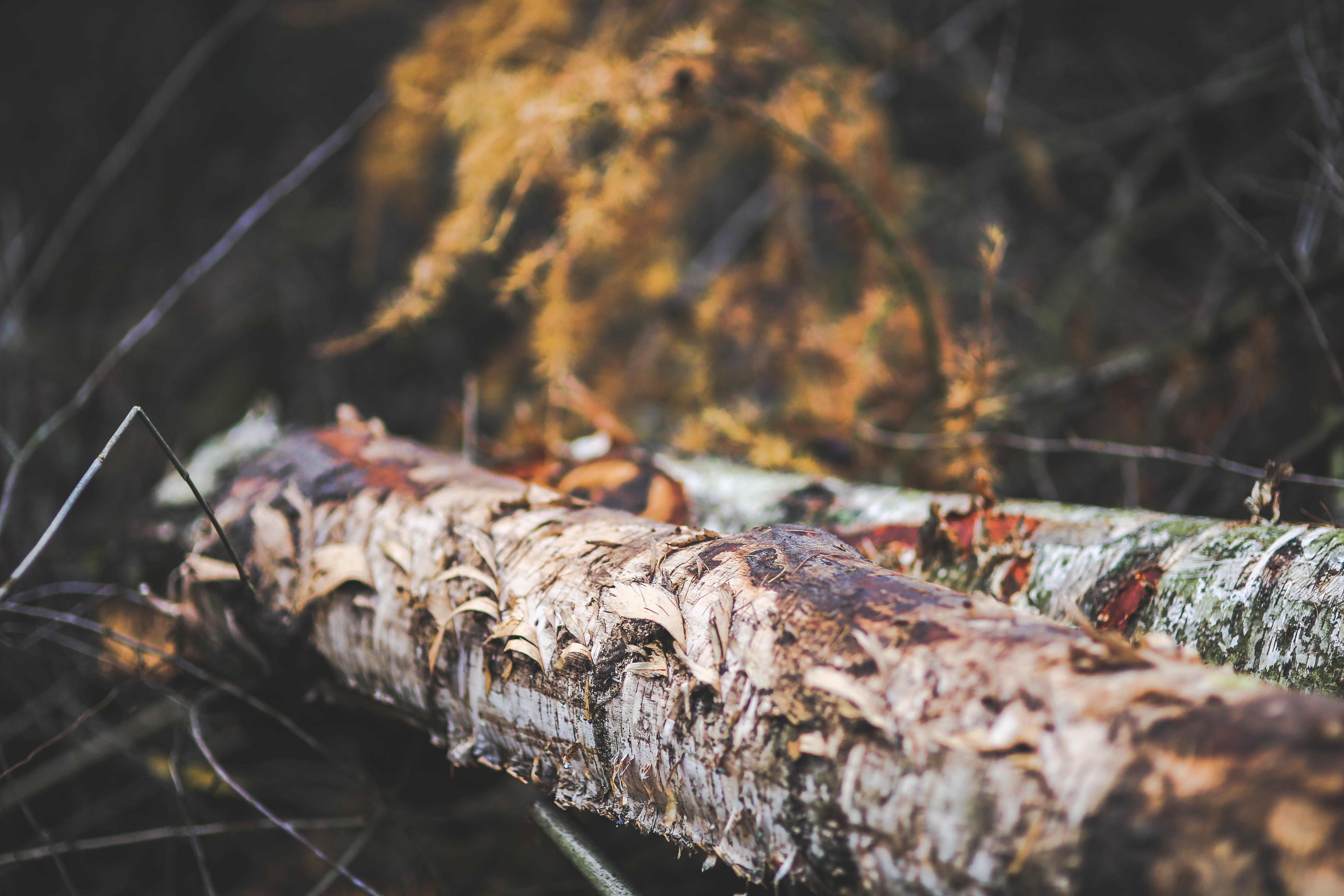 Ragged tree trunk II