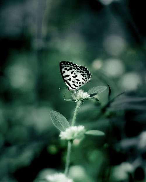 Black and White Butterfly Perched on White Flower in Close Up Photography