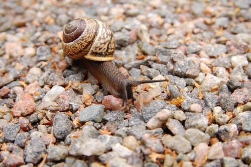 Brown Snail on Brown Pebbles