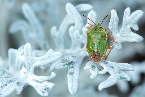 Ilmainen kuvapankkikuva tunnisteilla eläin, haiseva vika, hyönteinen, kasvi