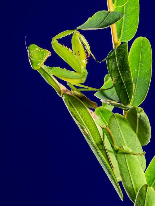 Fotobanka sbezplatnými fotkami na tému detailný záber, hmyz, maskovanie, modlivka zelená