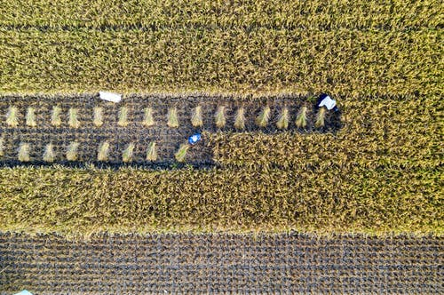 Top view of people collecting rice while working in agricultural plantation with rows of plants in suburb area in countryside