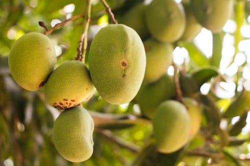 Ảnh lưu trữ miễn phí về cây, trái cây, trái xoài