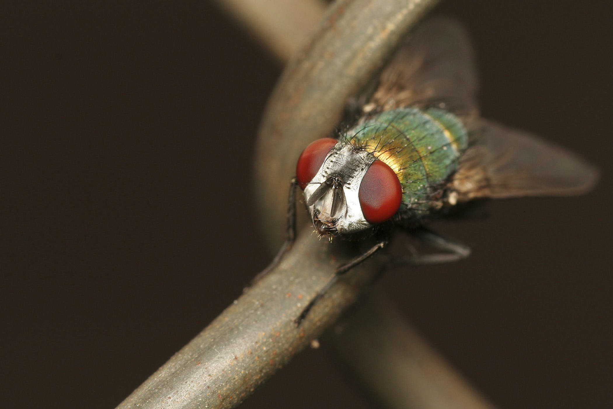 Green Red Fly