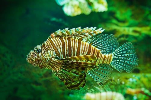 A Close-Up Shot of a Red Lionfish