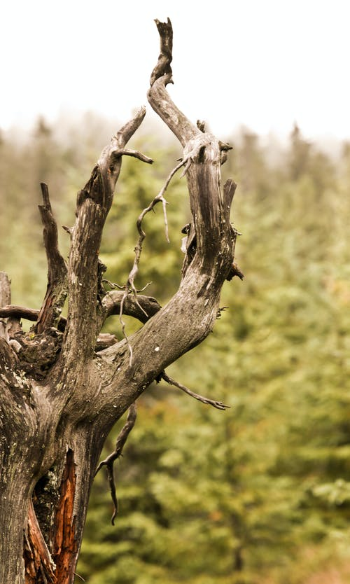Branches and twigs of dried tree trunk growing among evergreen trees in woods