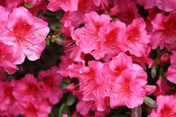 nature, flowers, pink