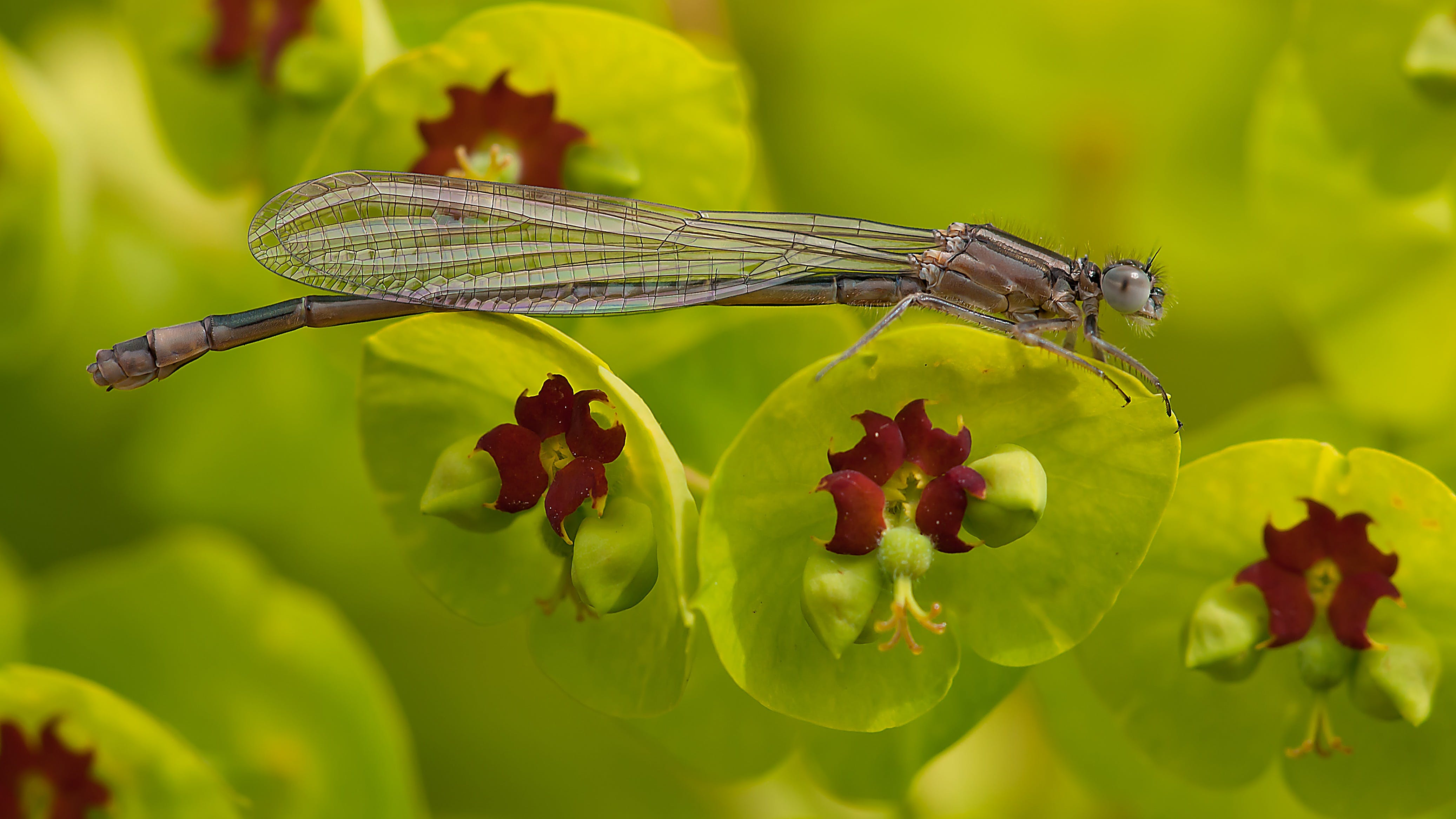 Gray Dragonfly on Green and Maroon Leaf in Tilt Shift Lens