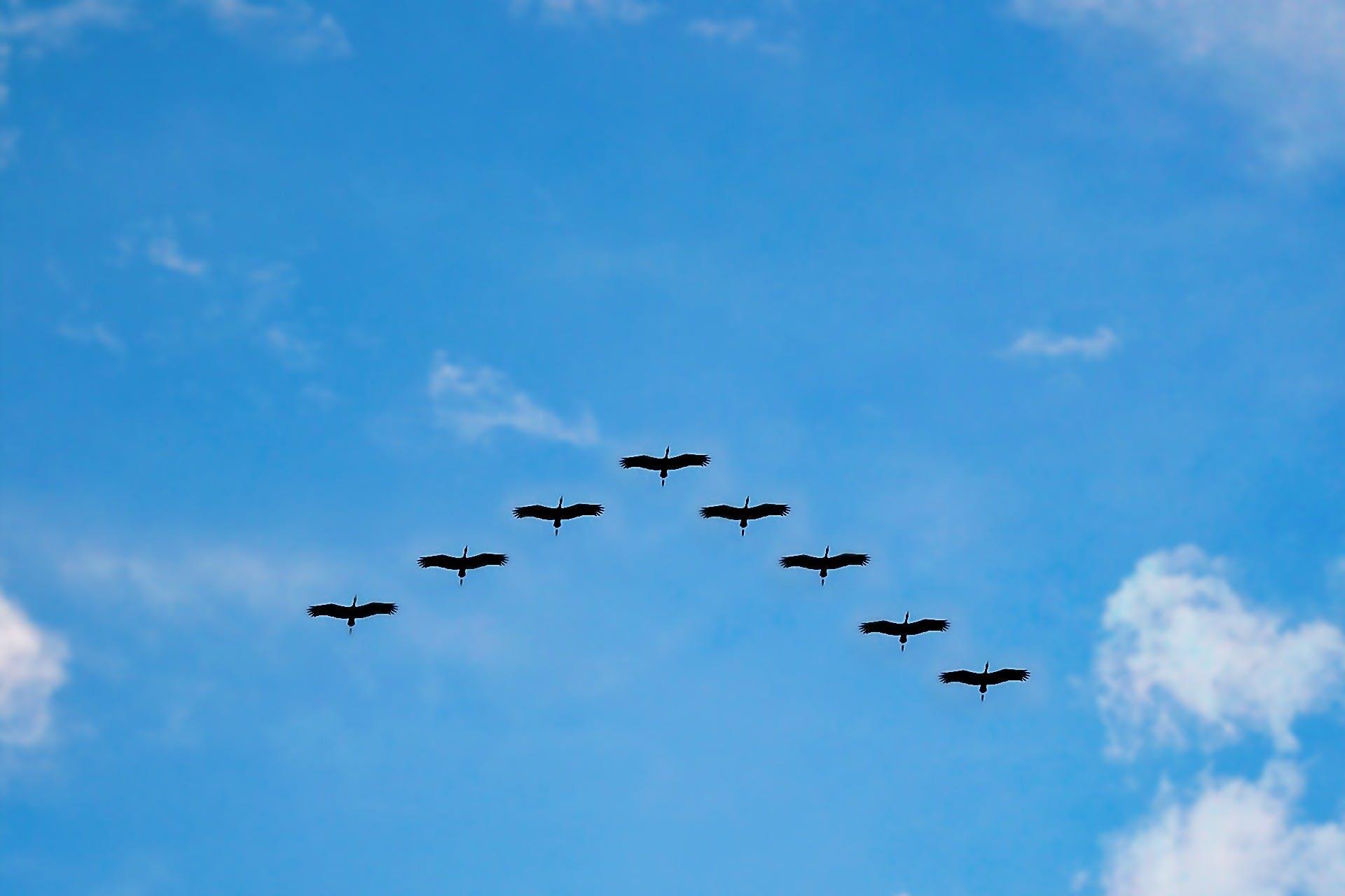 V Formation of Bird during Daytime