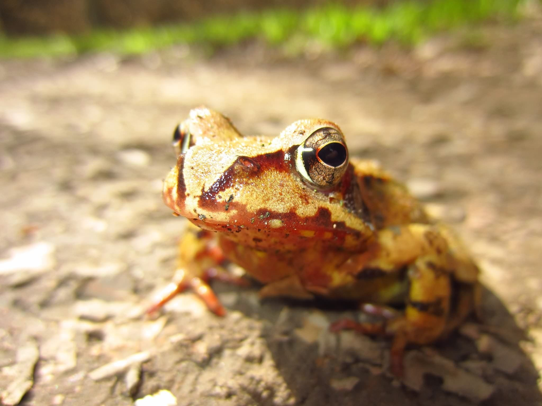 Macro Shot of Yellow and Brown Frog on Gray Asphalt Road during Daytime