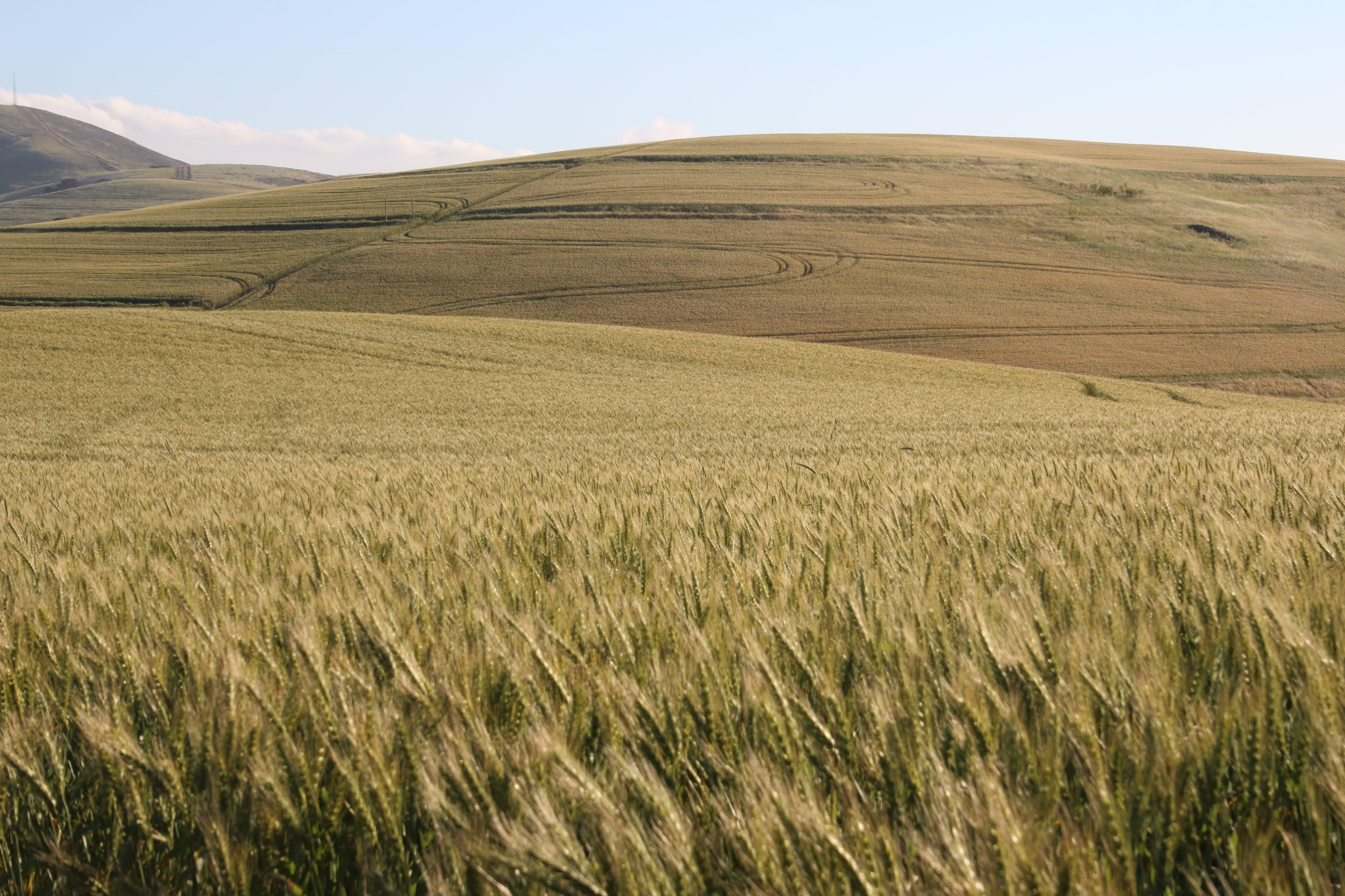 Wheat Field Digital Wallpaper