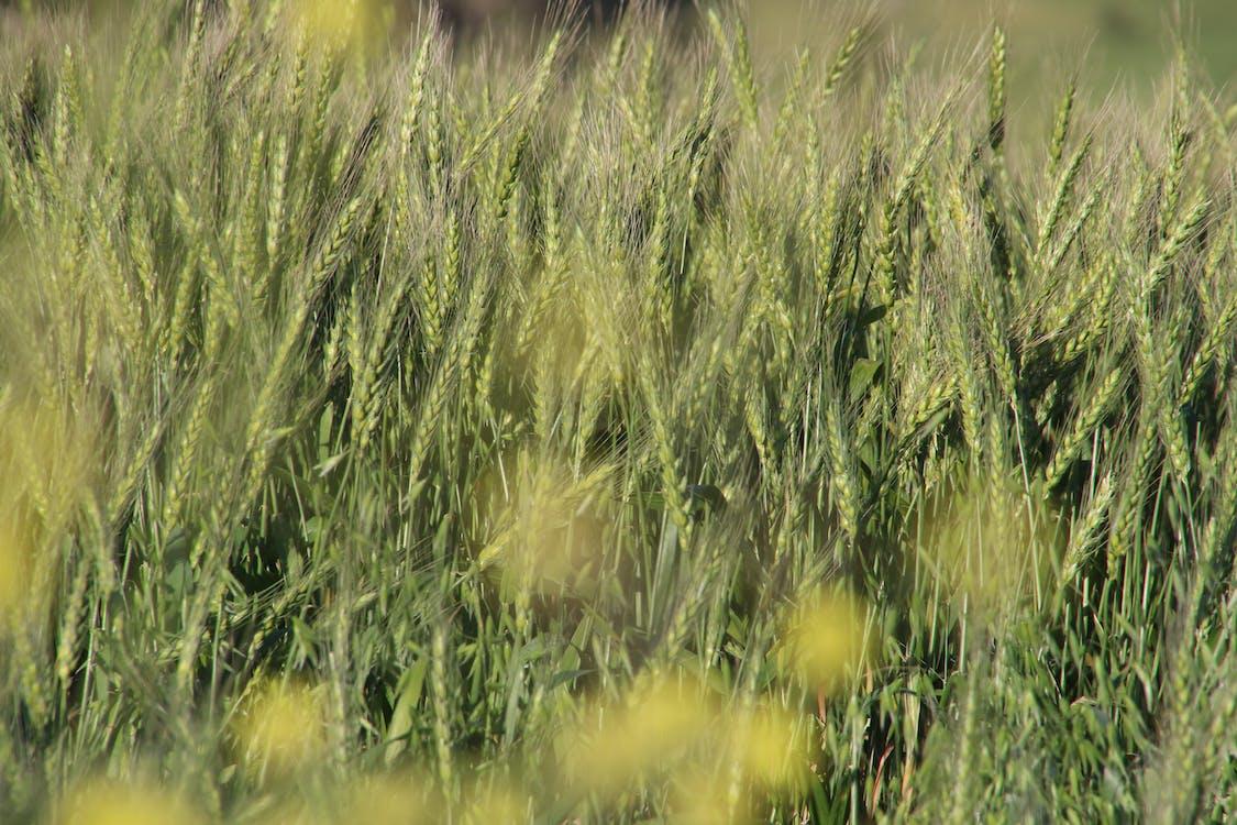 жито, жовтий, зелений
