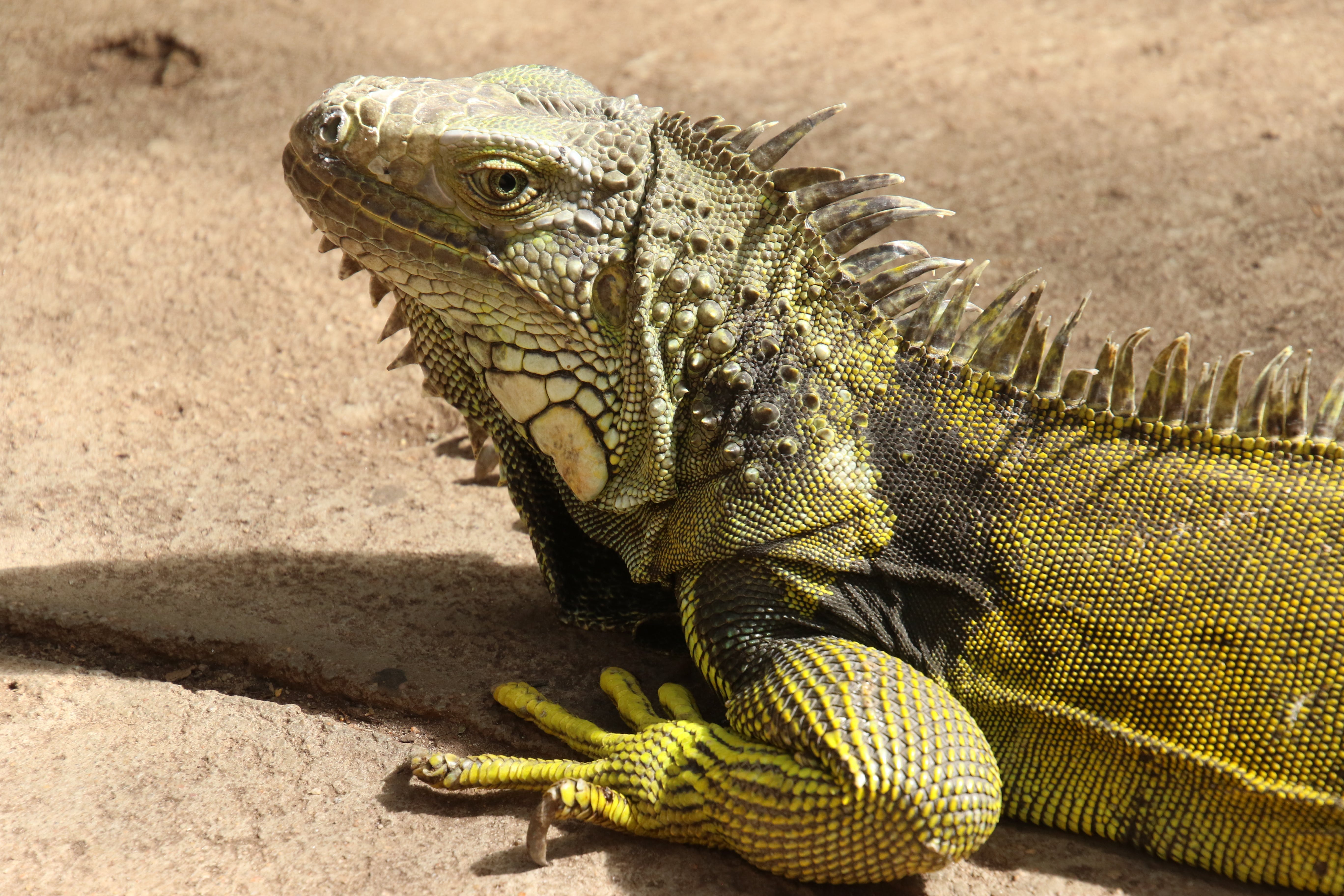 Iguana on Brown Surface