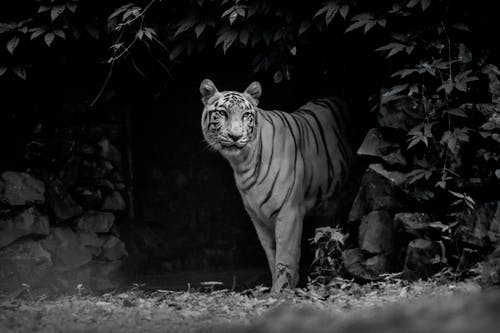 A Grayscale of a Triger