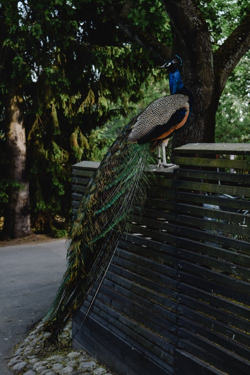 Blue Green and Black Peacock on Gray Concrete Road