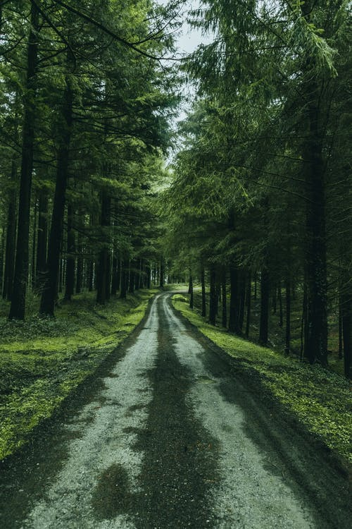 Empty alley among fir trees in woods