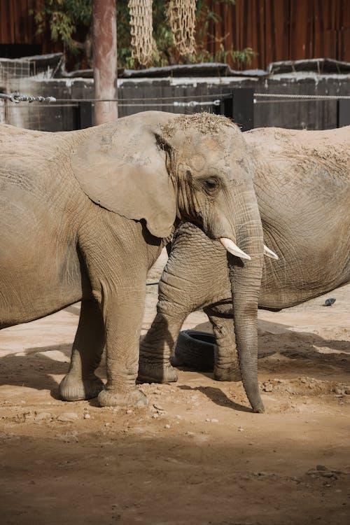 갈색 모래 위를 걷는 갈색 코끼리