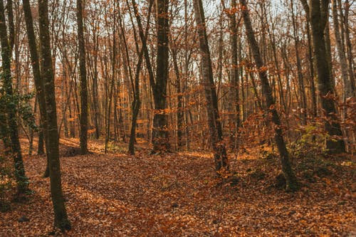 Empty pathway covered with dry fallen leaves between tall trunks of trees in autumn woods