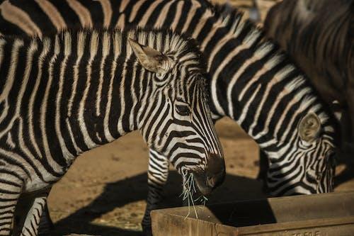 Afrika, ağız, arka plan bulanık, at içeren Ücretsiz stok fotoğraf